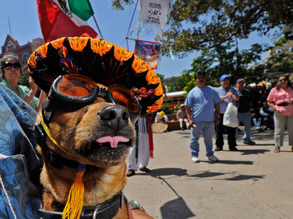 Chihuahua in a colorful sombrero at Cinco de Mayo celebration