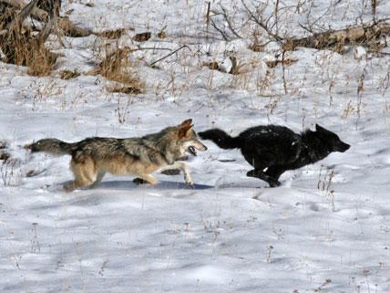 wolves_h_WldGeo